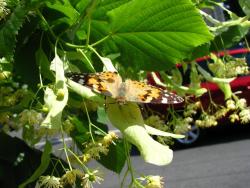 В Киеве нашествие бабочек