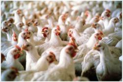 Более 10 стран ввели запрет на импорт украинской курятины